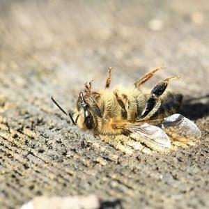 Refusons le retour des insecticides tueurs d'abeilles